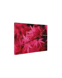 Artar japonez cu frunze rosii - Tablou Canvas - 4Decor